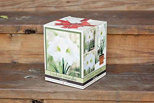 An amaryllis grow kit from our online plant nursery, an online nursery for amaryllis grow kits, citronella plants, tulip bulb mix, fast growing trees, paperwhite bulb mix and more!