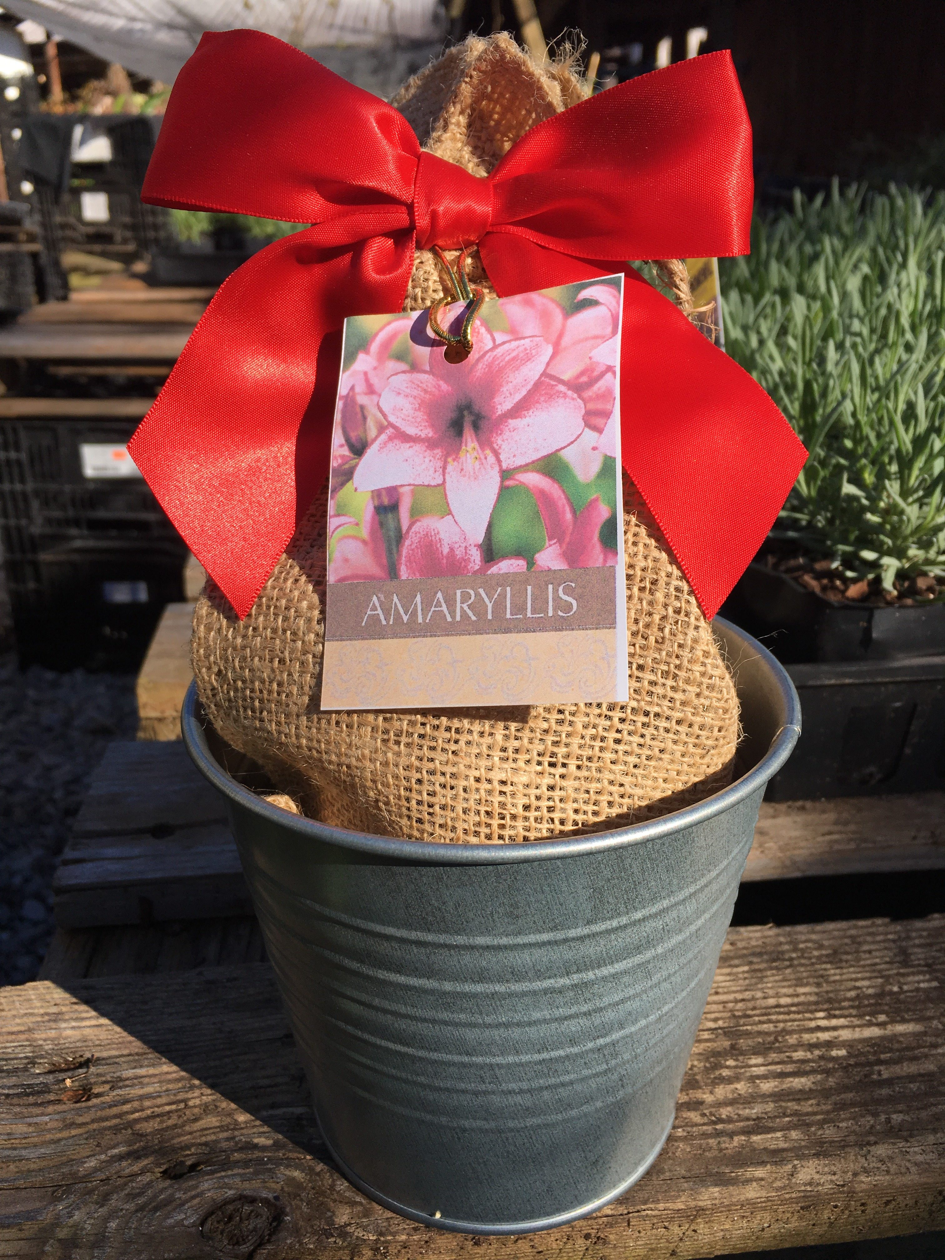 An amaryllis grow kit from our online plant nursery, an online nursery for amaryllis grow kits, tulip bulb mix, citronella plants, fast growing trees, paperwhite bulb mix, pink muhly grass and more!