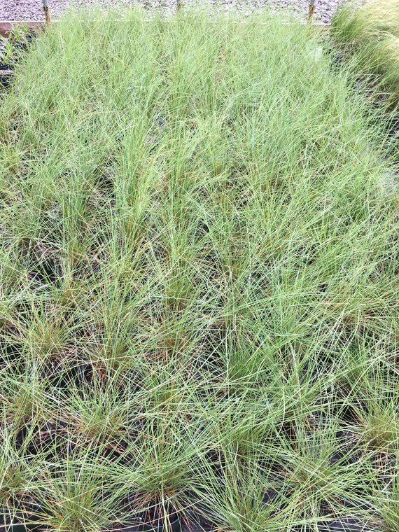 Pink Muhly Grass, by Pink Muhly Grass online from our online plant nursery, buy grass and flower bulbs online, buy trees online and more, call Daylily Nursery today!
