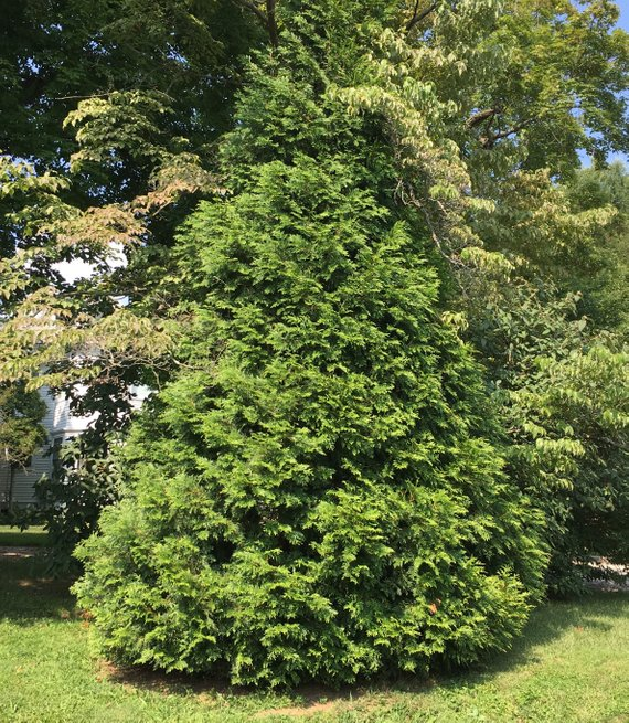 Green Giant Arborvitae 2 5 Inch Containers 6 14 Inches Tall