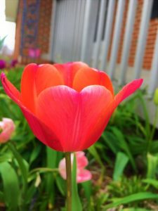 Tulip Red Oxford Bulbs, find tulip bulb mix at our online nursery, tulip bulbs for sale, buy flower bulbs online at Daylily Nursery, today!