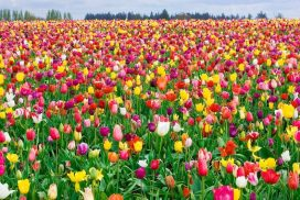 Tulip Landscape Mix Bulbs, find tulip bulb mix at our online nursery, tulip bulbs for sale, buy flower bulbs online at Daylily Nursery, today!