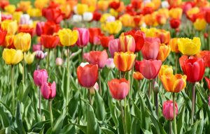 Tequila Sunrise Tulip Mix Bulbs, find tulip bulb mix at our online nursery, tulip bulbs for sale, buy flower bulbs online at Daylily Nursery, today!