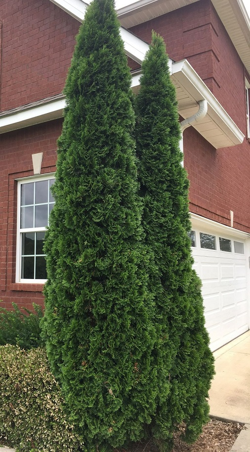 Emerald Green Arborvitae In 2 5 Inch Containers 6 14 Inches Tall