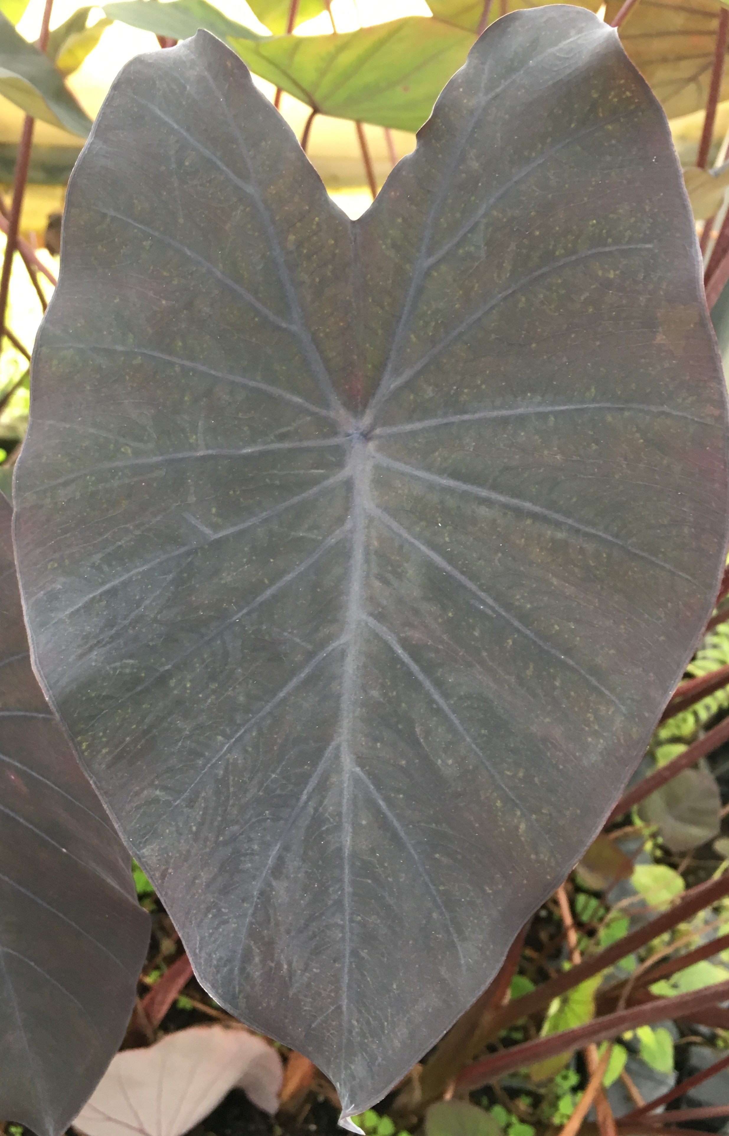 Black Magic Elephant Ears 4 Inch Containers